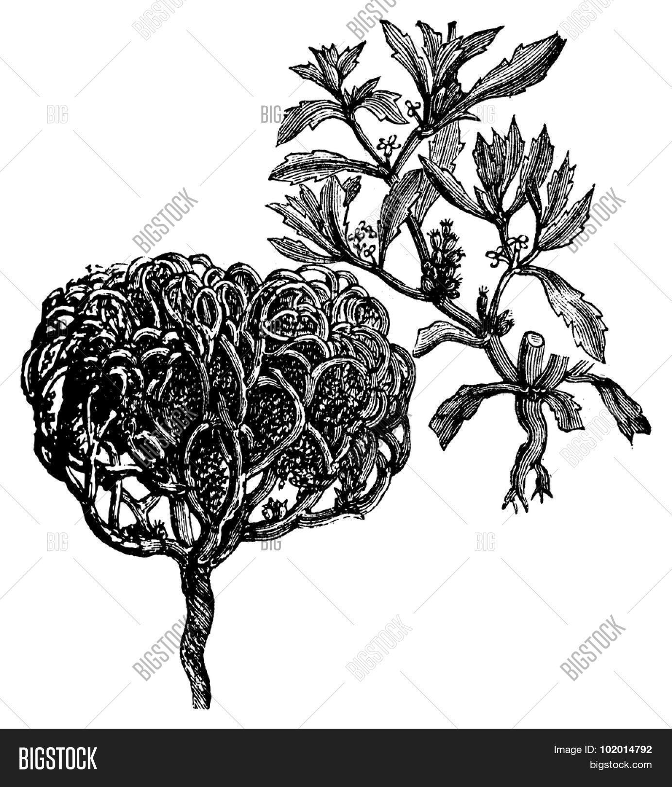 anastatica,ancient,antique,art,artwork,black,branch,brassicaceae,cuciferae,dead,dinosaur,drawing,engraved,engraving,etching,flower,foliage,hand,hierochuntica,illustration,isolated,jericho,mary,monotypic,old,palestinian,picture,plant,print,resurrection,rose,s,true,tumble,tumbleweed,vector,vintage,weed,wheel,white