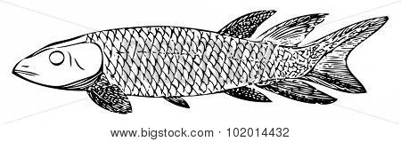 Old engraved illustration of an extinct fish, the Dipterus (thursius) macrolepidotus, isolated on white. Live traced. From the Trousset encyclopedia, Paris 1886 - 1891. stock photo