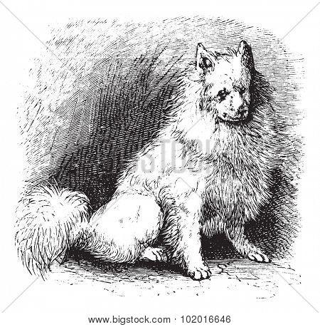 Husky or Canis lupus familiaris, vintage engraving. Old engraved illustration of Husky. Trousset encyclopedia. stock photo