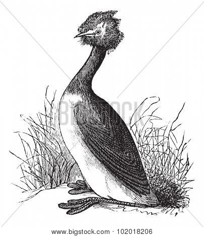 Great Crested Grebe or Podiceps cristatus, vintage engraving. Old engraved illustration of Great Crested Grebe in the meadow. Trousset Encyclopedia stock photo