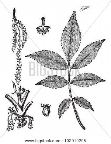 Leaf, base, stem and flower of hickory vintage engraving. Old engraved illustration of leaf base stem and flower of hickory tree. Trousset Encyclopedia stock photo