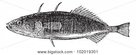 Three-spined Stickleback or Gasterosteus aculeatus, vintage engraving. Old engraved illustration of a Three-spined Stickleback. Trousset Encyclopedia stock photo