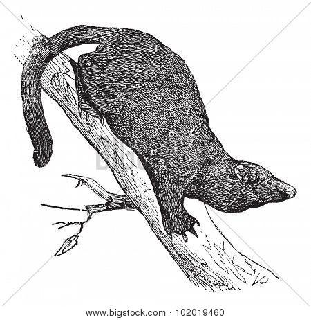 Fisher or Martes pennanti, Mustela pennantii, Mustela canadensis, Mustela melanorhyncha, Viverra piscator or Mustela piscatoria, vintage engraving.  Trousset encyclopedia (1886 - 1891) stock photo