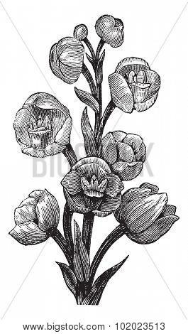 Peristeria elata, vintage engraved illustration. Trousset encyclopedia (1886 - 1891). stock photo