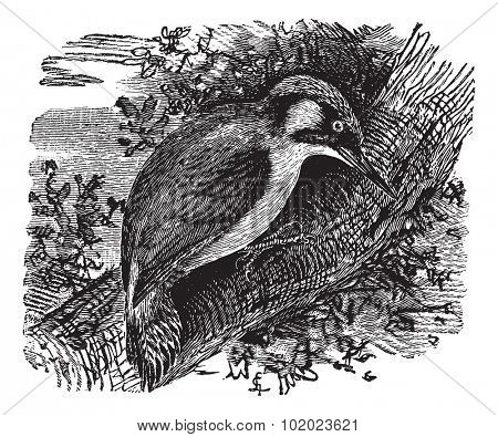 Woodpecker or piculets or wrynecks, vintage engraved illustration. Trousset encyclopedia (1886 - 1891). stock photo