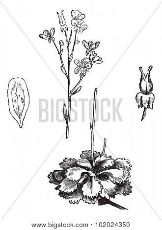 Shadow Saxifrage (Saxifraga umbrosa), vintage engraved illustration.Trousset encyclopedia (1886 - 1891). stock photo