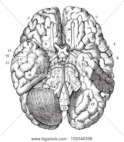 Base of the brain, vintage engraved illustration. Usual Medicine Dictionary by Dr Labarthe - 1885. stock photo