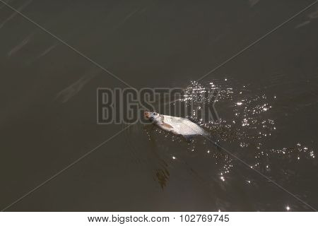 Closeup catch of one river or lake little fish hanging on sharp fish-hook on lip with maggot sunny day outdoor in water on natural background horizontal picture