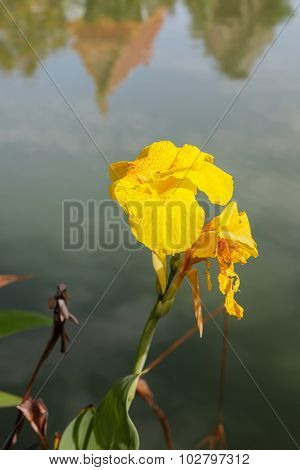 Indian shot Canna flower on the water in thailand stock photo