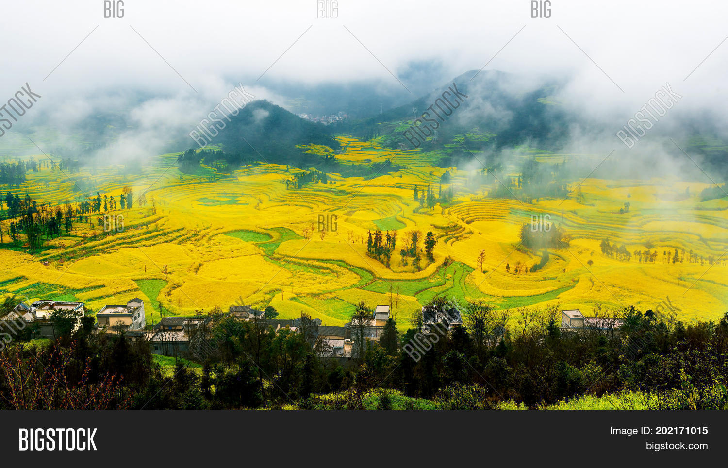 Canola field rapeseed flower field with morning fog in Luoping China.
