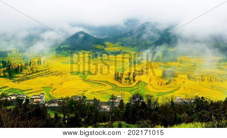 Canola field rapeseed flower field with morning fog in Luoping China. stock photo