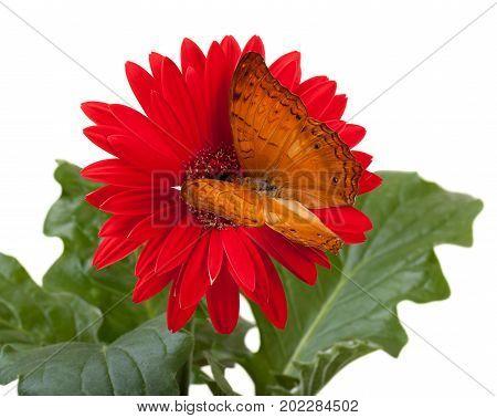 Cruiser Butterfly (Vindula Erota) on Red Gerbera Daisy stock photo