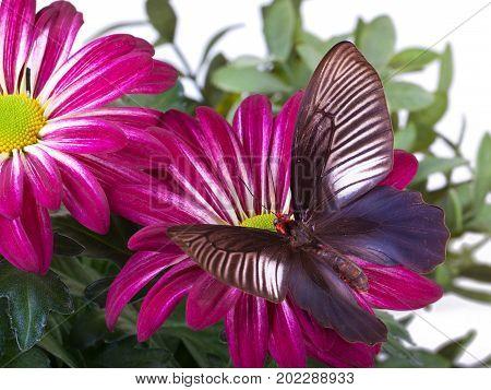Parides varuna Butterfly sitting on Red Mum stock photo