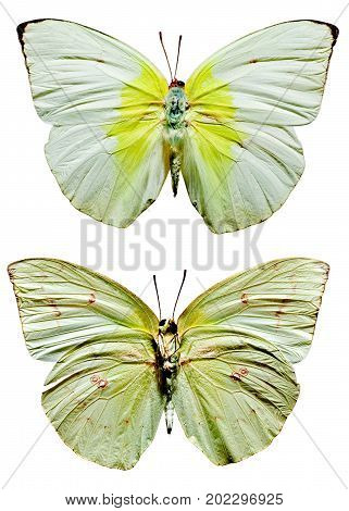 Lemon Emigrant Butterfly upper and lower views stock photo