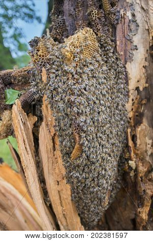 bee tree - bees (apis mellifera) living in tree the tree was broken during a storm stock photo