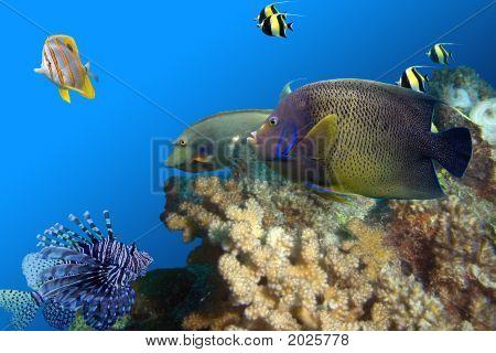 Regal Spotted Angelfish (Pomacanthus xanthometapon) Beaked Coralfish (Chelmon rostratus) Yellow tailed Unicornfish (Naso brevirostris) Moorish Idols (Zanclus cornutus) swimming over coral reef. stock photo
