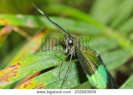 Big green butterfly Emerald Swallowtail photo to eyes Papilio palinurus stock photo