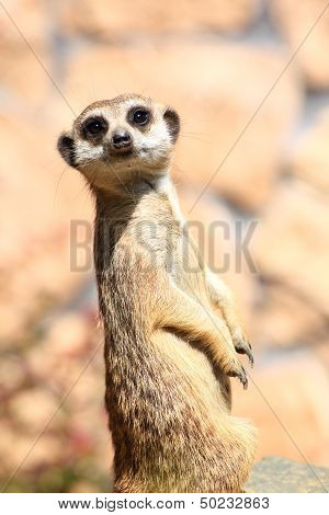 Animal alert meerkat standing on guard