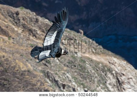 Flying condor over colca canyon,peru,south america. this is a condor the biggest flying bird on eart