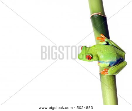 Closeup of a Red-Eyed Tree Frog ready to jump from Bamboo. Isolated on a white background. stock photo