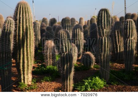 Majestic green cactii. Cactus that are many years old as they have been allowed to grow to their tallest. stock photo