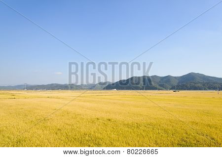 view of full ripen golden rice paddy in autumn located in Andong-si Korea stock photo