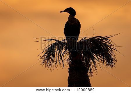 Silhouette of a Double-crested Cormorant (Phalacrocorax auritus) Roosting on a Palm Tree at Sunset - Viera Wetlands Florida stock photo