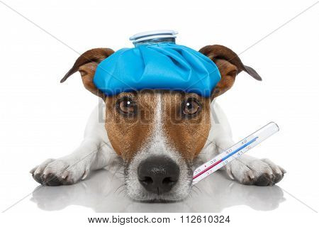 Sick and ill jack russell dog on the floor with hangover and fever with ice bag on head with thermometer in mouth isolated on white background stock photo