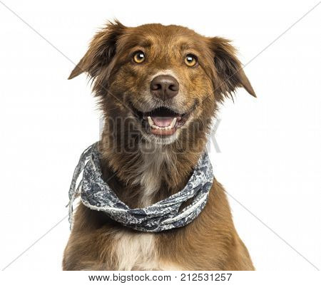 Close-up of a Labrador Australian Shepherd crossbreed dog, panting isolated on white stock photo