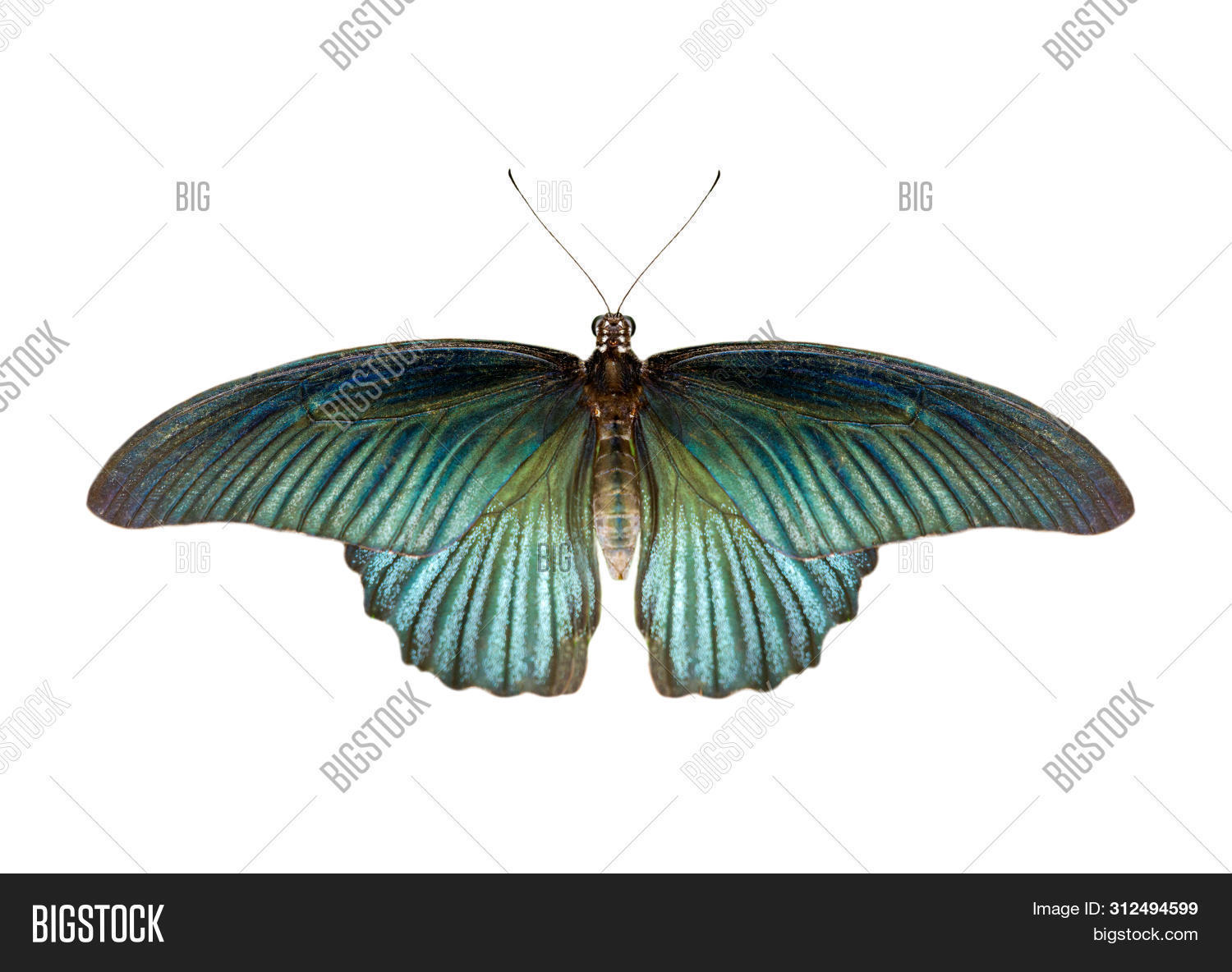 Image Of Male Great Mormon Butterfly (papilio Polytes) Isolated On White Background. Insect. Animals
