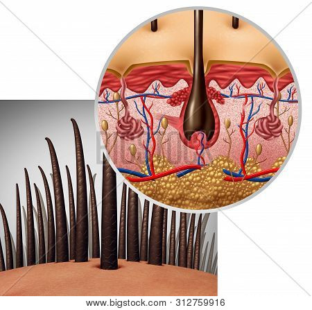 Hair follicle anatomy diagram dermitology medical concept as human hairs with a shaft emerging from the scalp as a 3D illustration. stock photo