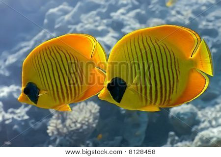 Butterflyfish on the coral reef in the red sea stock photo