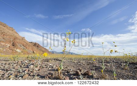 Super bloom of desert gold sunflowers (Geraea canescens) near Furnace Creek in Death Valley National Park California. stock photo