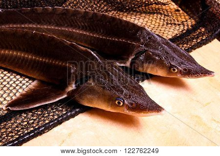 Close up view of the fresh small sturgeon fish on black fishing net. Fresh sterlet fish just taken from the water. Sterlet is a small sturgeon farmed and commercially fished for its flesh and caviar. stock photo