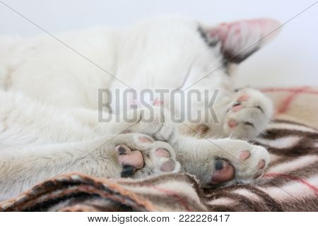 Sleeping cat. The white cat is sleeping sweetly on the warm plaid. stock photo