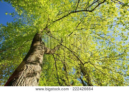 Spring Canopy Of Tall Tree. Deciduous Forest, Summer Nature At Sunny Day. Upper Branches Of Tree With Fresh Green Foliage. Low Angle View. Looking Up Woods. Greenery, Green: Pantone Color - Trend 2017