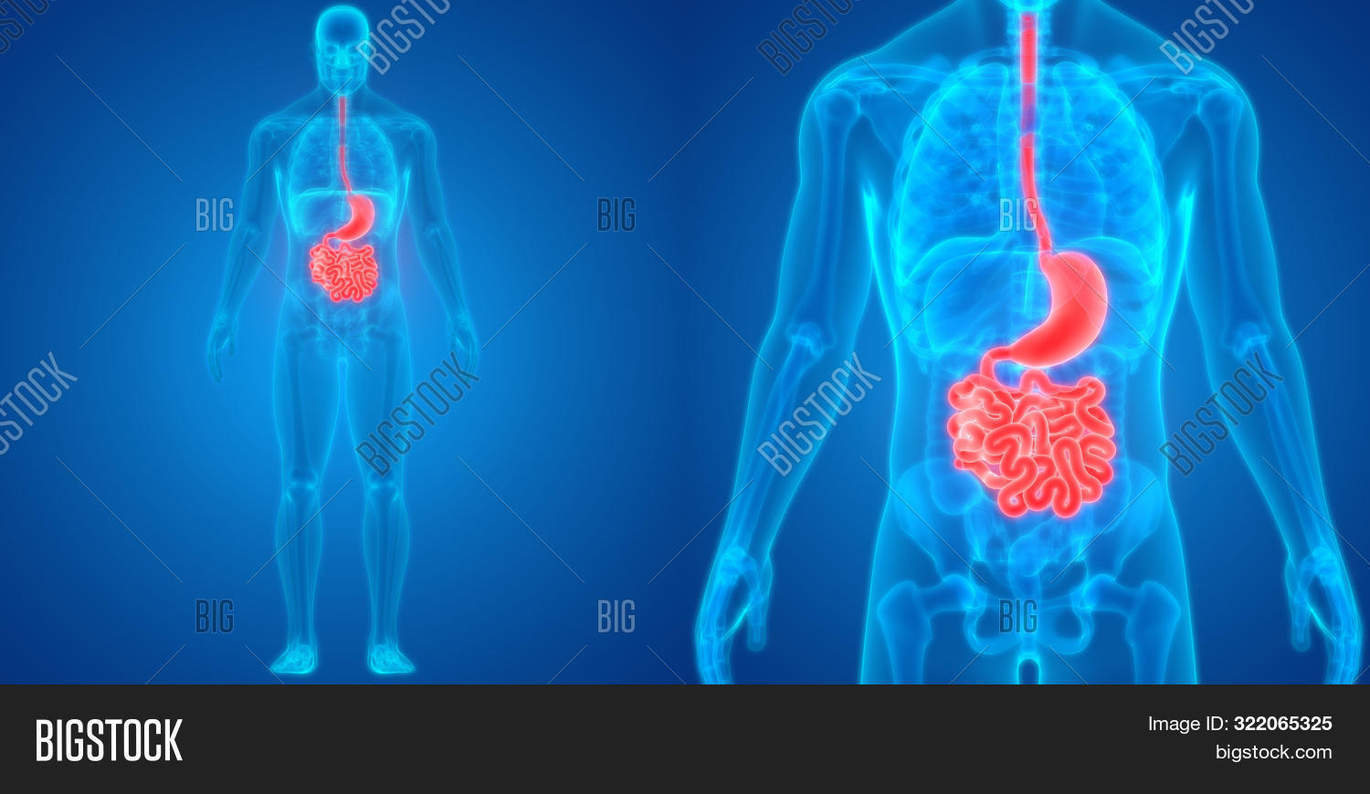 3d,abstract,ache,anatomical,anatomy,anus,appendix,background,biology,blue,body,care,digesting,digestion,digestive,disease,duodenum,eating,esophagus,food,gallbladder,gastric,gut,health,healthy,human,illustration,infographic,internal,intestine,jejunum,large,liver,male,man,medical,medicine,organ,pain,science,small,stomach,surgery,system,x-ray,xray