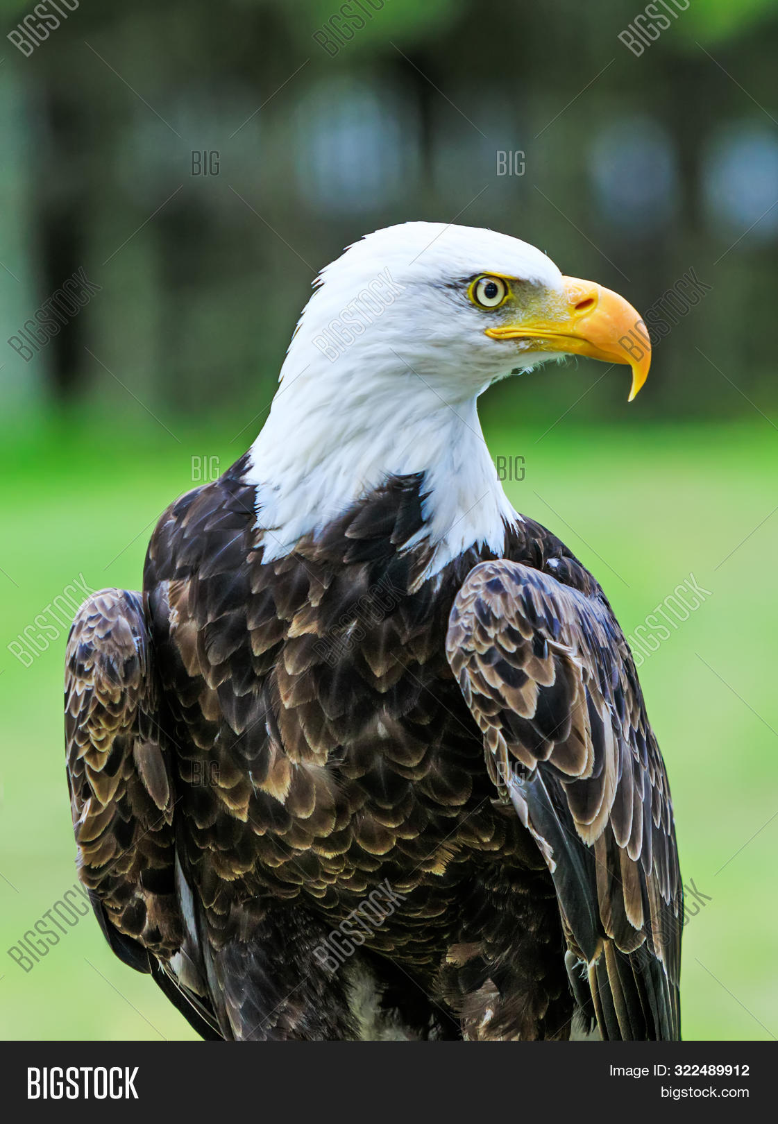 Bald Eagle With Colorful Plumage And White Head On Green Background. Amazing Portrait Of American Ba