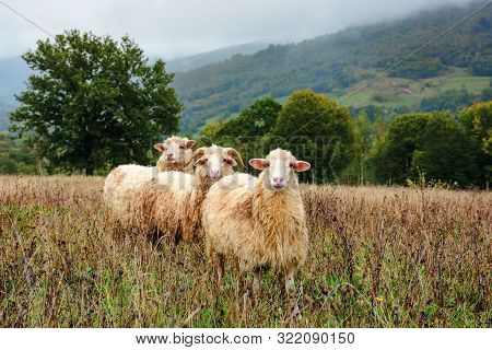 ram and two sheep on the meadow. animals among weathered grass. oak trees in the distance. gloomy autumn weather. early hazy morning in mountainous countryside. stock photo