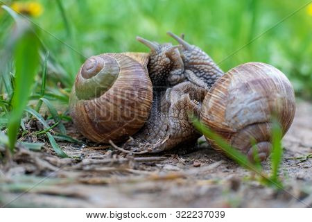 The Roman snail, also called Burgundy snail, edible snail or escargot, European species of a large, edible, air-breathing land snail captured during mating. stock photo