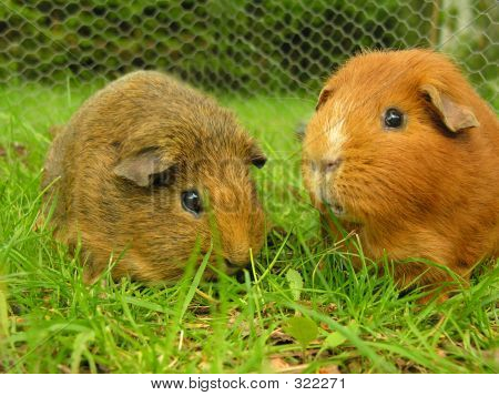 two guinea pigs eatting some grass stock photo