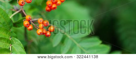 Mountain rowan ash branch berries on blurred green background. Autumn harvest still life scene. Soft focus backdrop photography. Copy space. stock photo