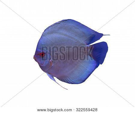 Blue diamond discus fish isolated on white background stock photo