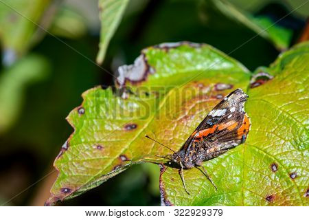 A red admiral butterfly perched on a pant leaf. stock photo