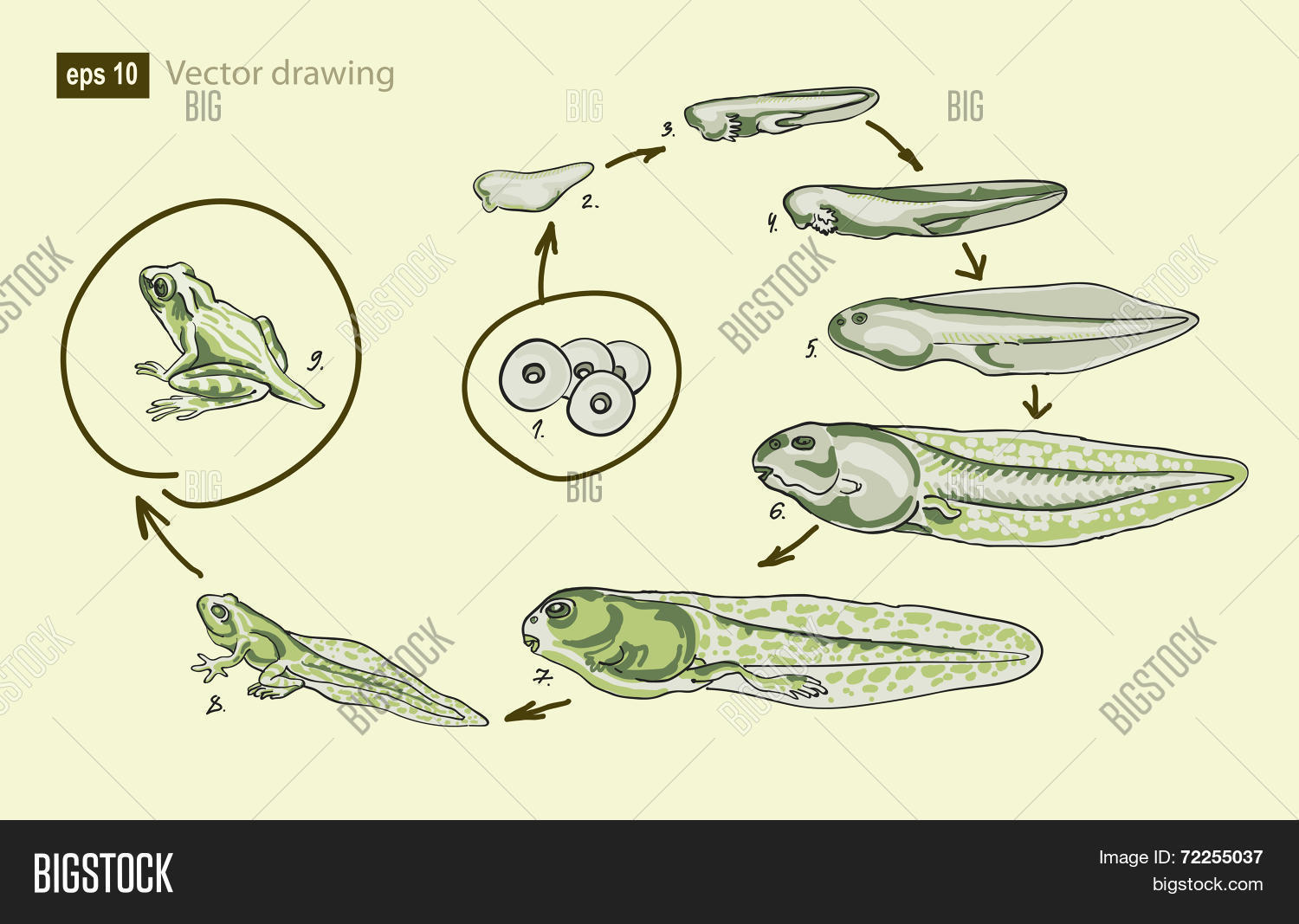 Vector Illustration Of The Life Cycle Of Frog