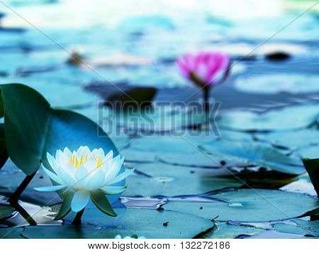 Lotus flower blooming on a tranquil pond in blue morning light. White lotus flower and pink lotus fl