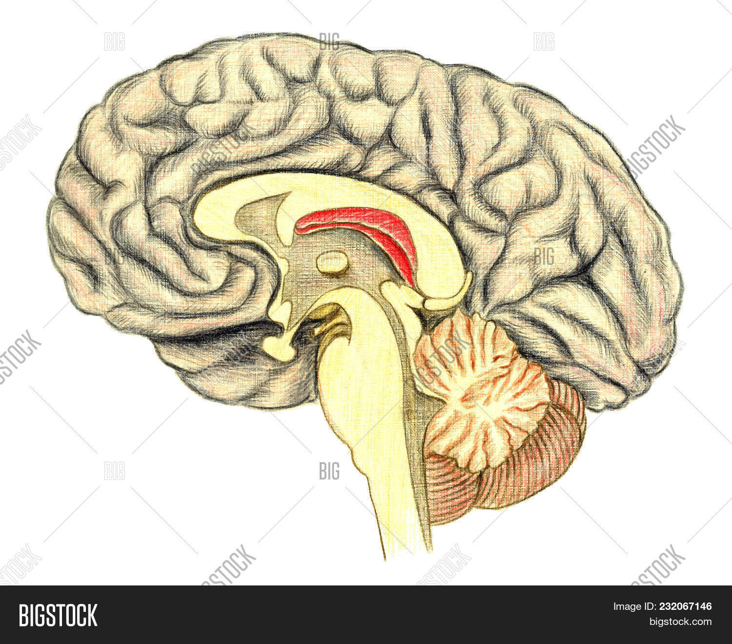 Human Brain Side View Hand Drawn Medical Illustration Color