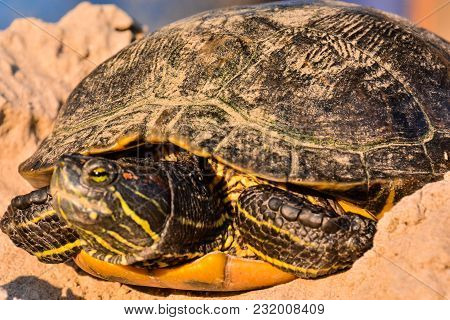 Photo Picture of Red Eared Terrapin Trachemys Scripta Elegans Tortoise stock photo