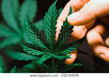 Beautiful Cannabis Leaf Concepts Growing And Using Marijuana And Small Top Of A Cannabis Plant Growi