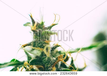 marijuana cbd thc. Concepts of legalizing medicinal herbs weed, bud cannabis, Macro shot with sugar trichomes, buds grown cannabis in the house, Bud cannabis before harvest stock photo